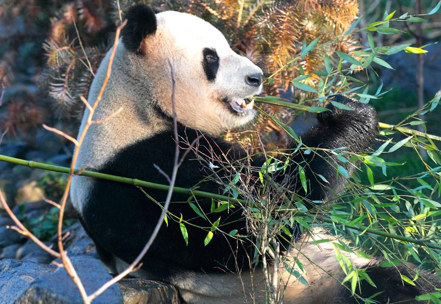 Самец гигантской панды вЭдинбургском зоопарке. © David Moir/Reuters© David Moir/Reuters