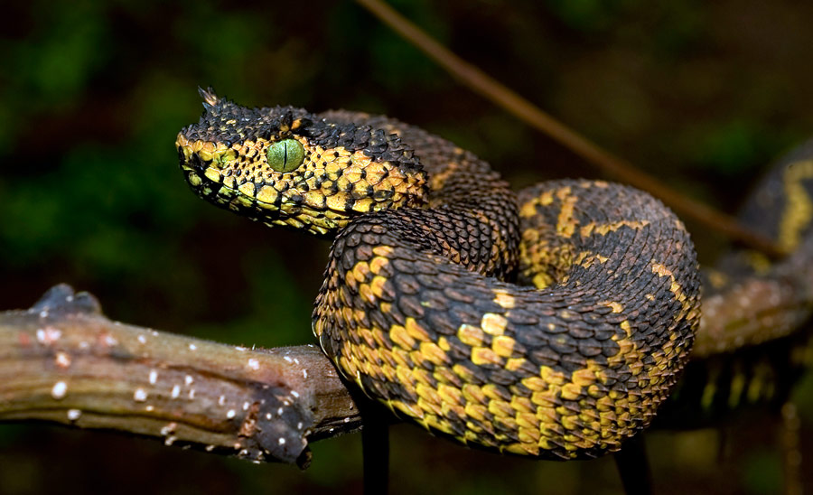 Рогатая гадюка Матильды. © Tim Davenport, Wildlife Conservation Society/AP Photo