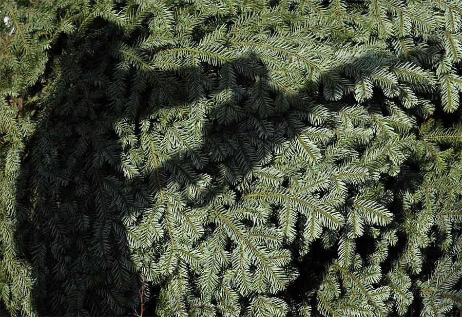 Заготовка хвойных деревьев крождеству впарке Данкомб вХелмсли, Великобритания. © Nigel Roddis/Reuters