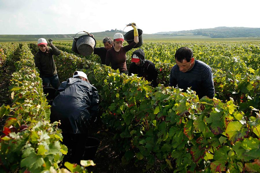 Сбор урожая в Шампани. Фоторепортаж. Ридус