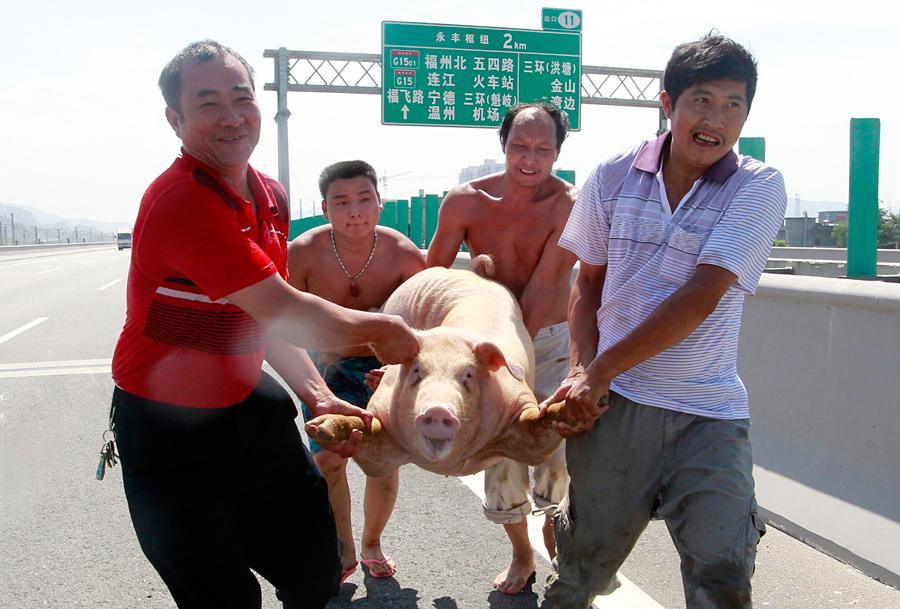 Смешные картинки китаец на свинье
