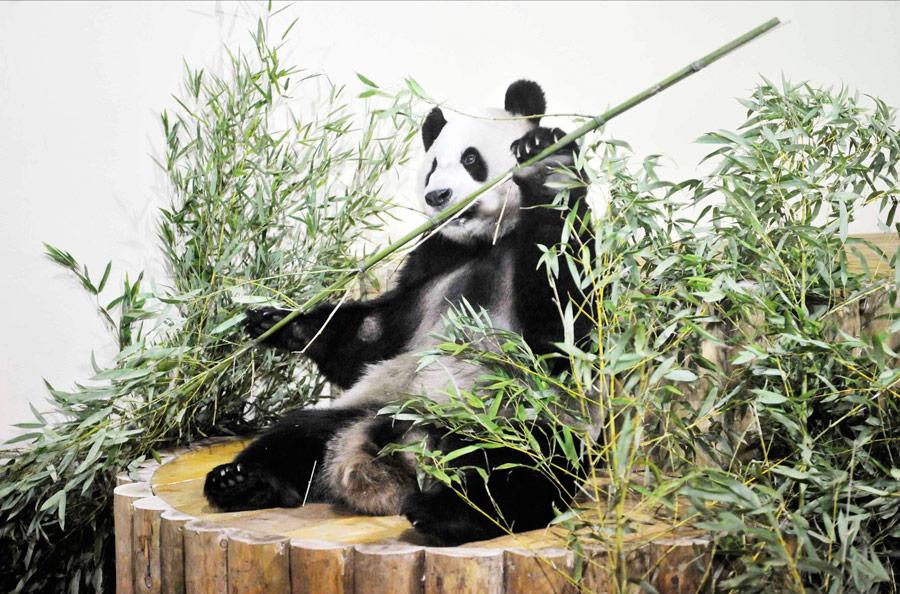 Гигантская панда покличке ЯнГуан жует бамбуковые стебли всвоем новом доме вЭдинбургском зоопарке. © Handout/Rob McDougall/Reuters