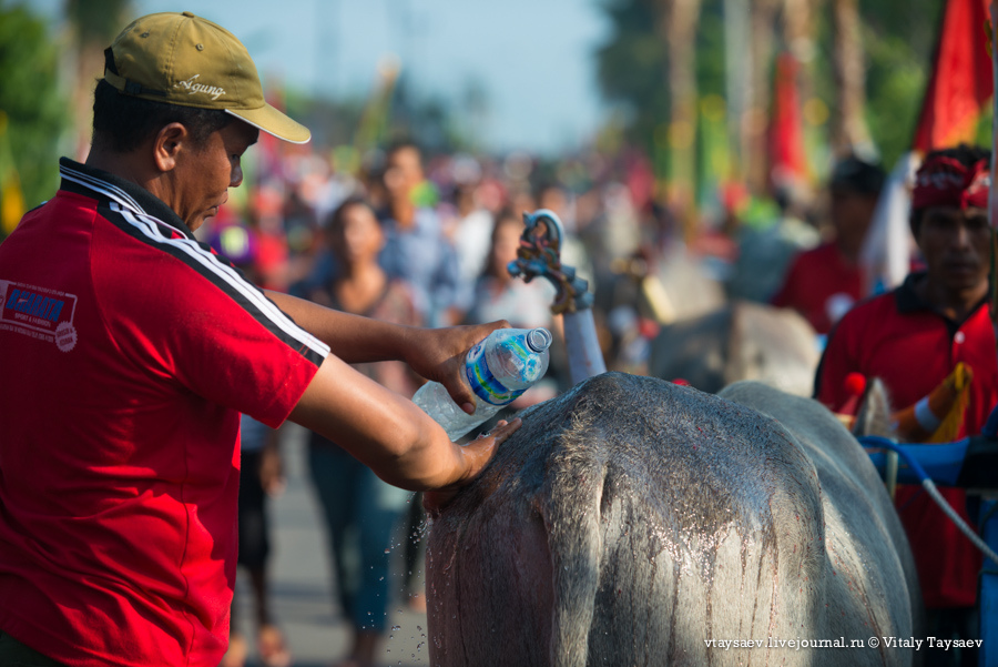 Bull racing in Bali, © Vitaly Taysaev for Ridus.ru