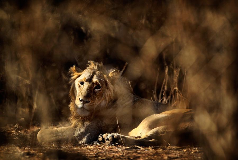 Секс в лесу с львом