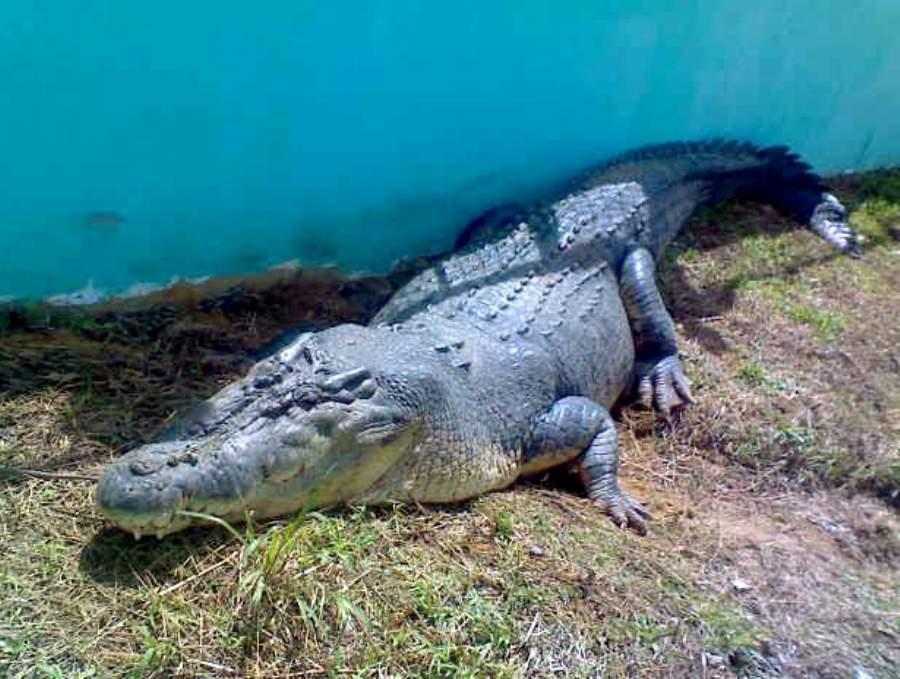 На Филиппинах умер самый большой из содержащихся в неволе крокодил Лолонг
