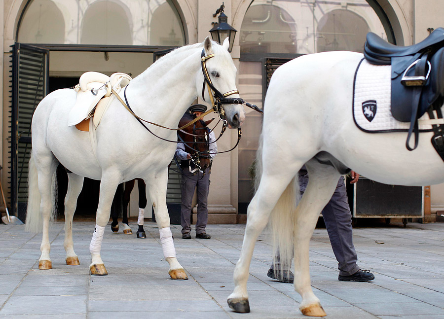 Липпицианская лошадь картинки