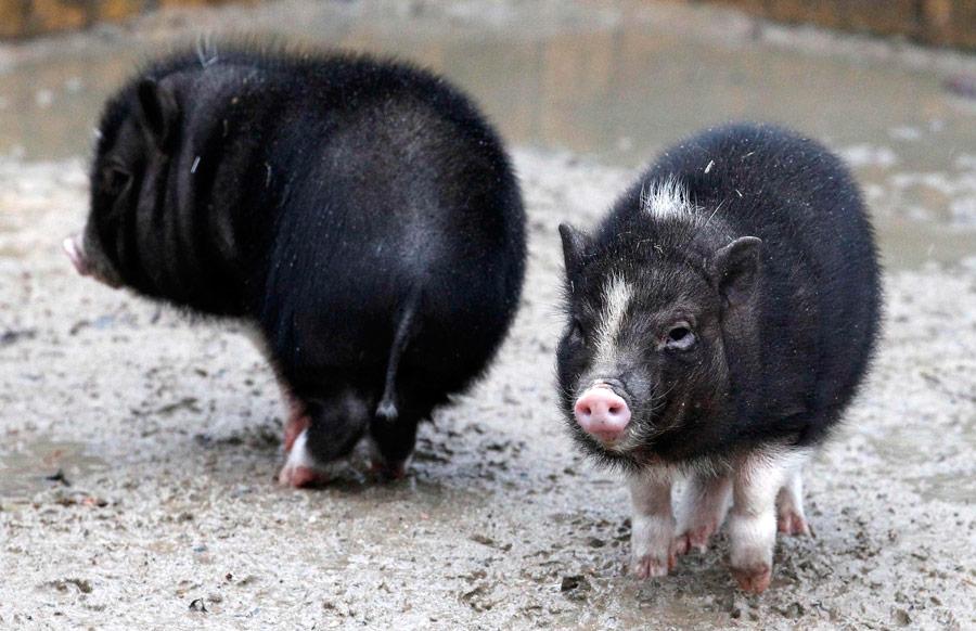 Пузатые свинюшки Вилли иЭрна (слева направо), рожденные 26ноября 2011 года вберлинском зоопарке Тиерпарк. © Tobias Schwarz/Reuters