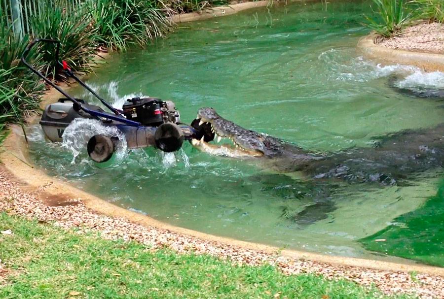 Крокодил поимени Элвис атаковал газонокосилку усотрудника Австралийского парка рептилий. © Australian Reptile Park/Reuters