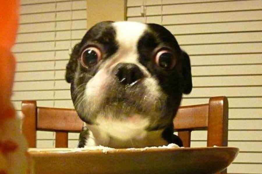 картинки с маленькими собачками выпученными глазами