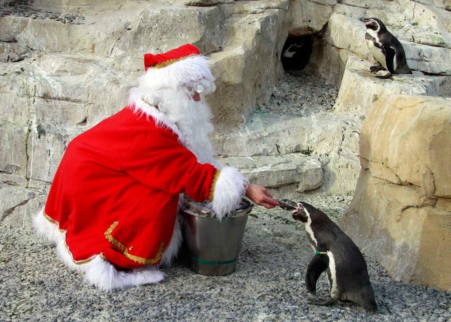 Женщина вкостюме Санта-Клауса кормит перуанского пингвина вофранцузском морском парке Маринлэнд. © Eric Gaillard/REUTERS