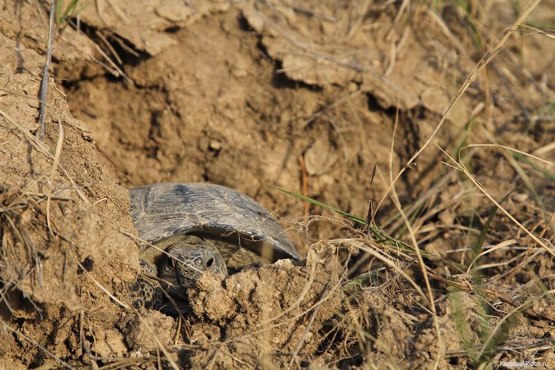 Черепаха вгорячей точке © Пётр Казаков/Ridus.ru