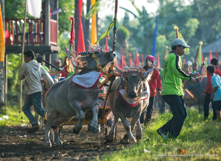 Bull racing inBali, © Vitaly Taysaev for Ridus.ru