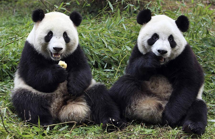 Нанаучно-исследовательской базе поразмножению панд вЧэнду. © China Daily/Reuters
