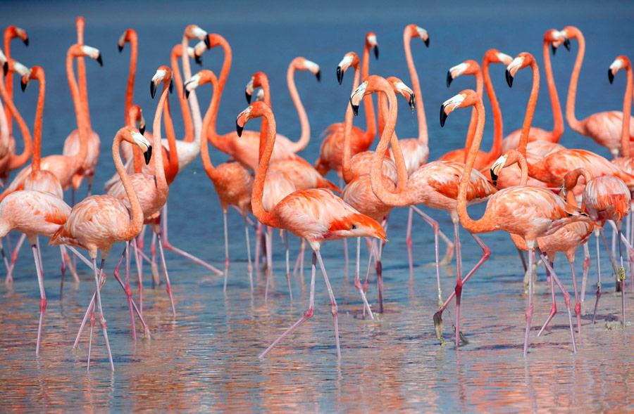 Стая розовых фламинго вокрестностях города Селестун, штат Юкатан, вМексике. © Victor Ruiz Garcia/Reuters