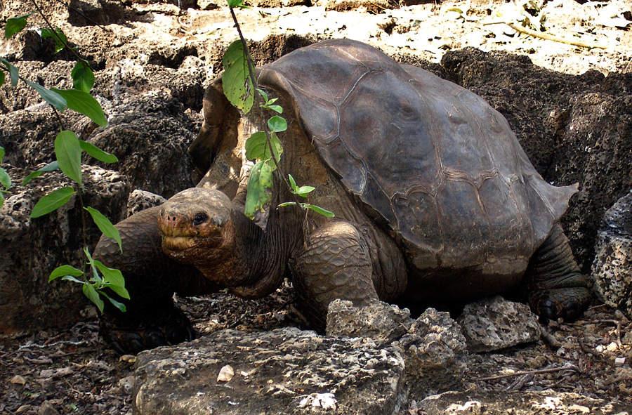 В мире абингдонская слоновая черепаха