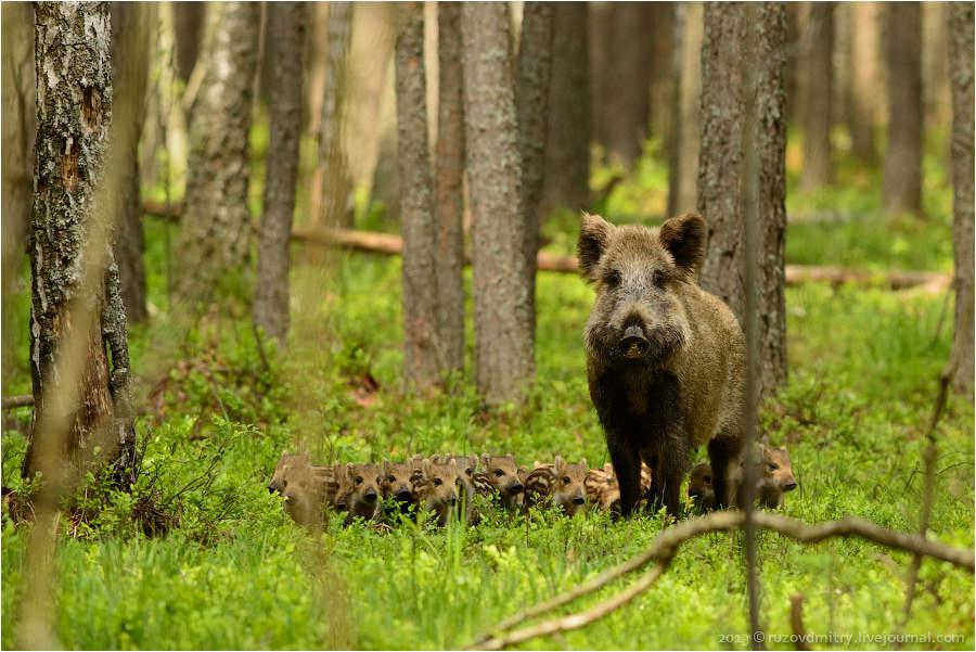 Царь-сосна, национальный парк припятский