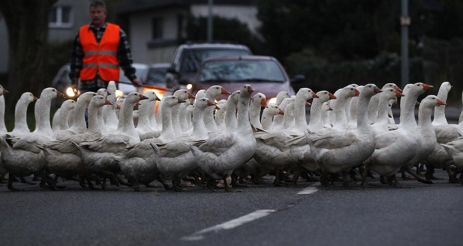 Рождественские гуси переходят дорогу инаправляются назабой внемецком Дуйсбурге. © Ina Fassbender/Reuters