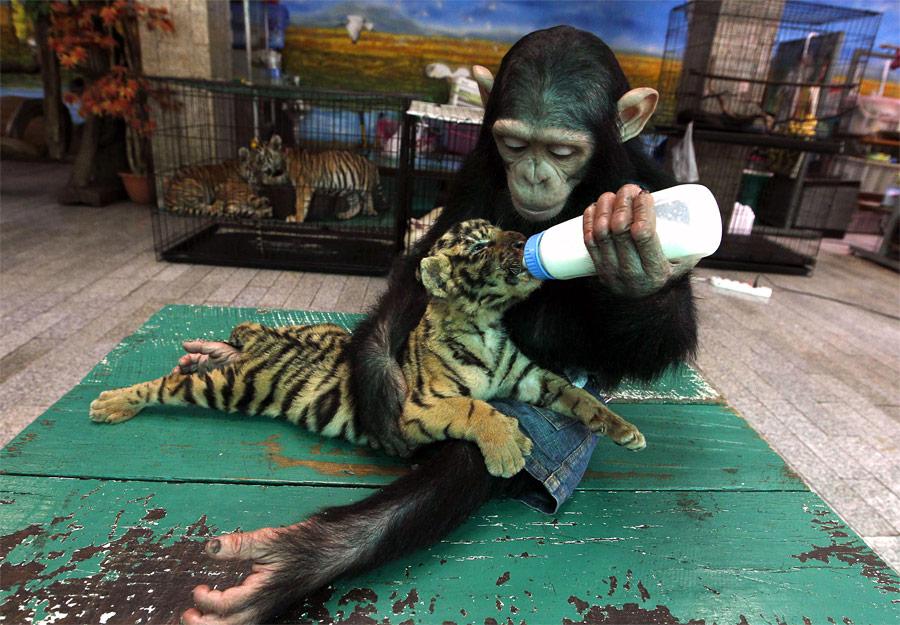 Шимпанзе До-До кормит двухмесячного тигренка Аорна взоопарке скрокодиловой фермой Самут-Пракан наокраине Бангкока. © Sukree Sukplang/Reuters