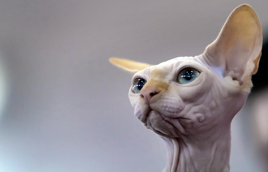Сфинкс покличке Наркотик намеждународном конкурсе кошачьей красоты вБухаресте. © Vadim Ghirda/Reuters