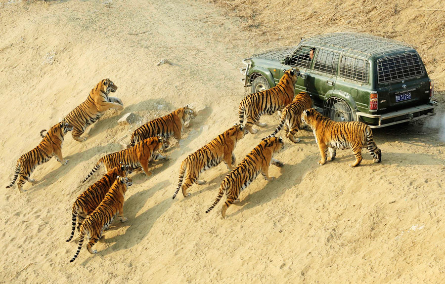 Амурские тигры ждут еды уавтомобиля смотрителя взаповеднике недалеко отХарбина вКитае. © Sheng Li/Reuters